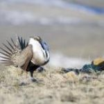 A Win for Sage Grouse