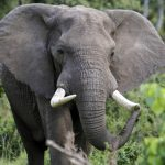 Elephants, Science, and Politics