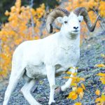 Working for Wild Sheep