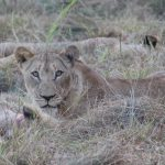 Return of the Zambezi Delta Lions
