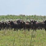 Win a Cape Buffalo Safari!
