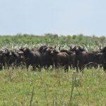Win a Cape Buffalo Safari!