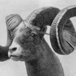 The Tale of the Tacoma Bighorn