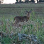 Africa's Most Common Antelope