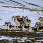 The Wild Sheep of Asia