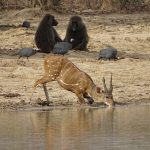 Best Bets for Bushbuck