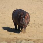 The Hippo as a Game Animal